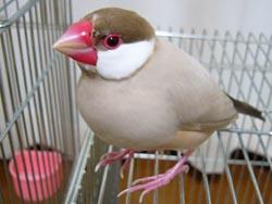 由来 文鳥 の 文鳥の性格や特徴って?飼い主になつくと「手のり文鳥」にも