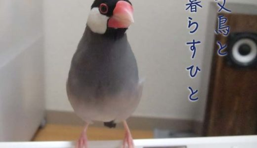 文鳥と暮らすひと(7)ちょし(ただの文鳥)さん