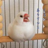 文鳥と暮らすひと(1)amycco.さん